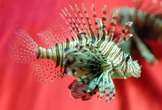 Lionfish Immagine Stock