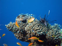 Lionfish. 2 lion fish amongst coral royalty free stock photo