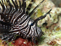 LionFish Fotos de Stock