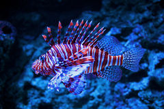 Lionfish Photographie stock libre de droits