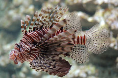 lionfish obrazy royalty free