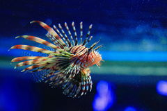Lionfish Fotografia Stock