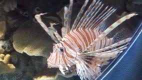 Lionfish Foto de Stock