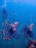 Lionfish Fotografia Stock Libera da Diritti