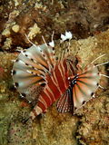 Lionfish   photo libre de droits