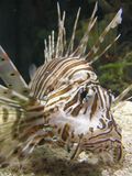 lionfish royaltyfria bilder