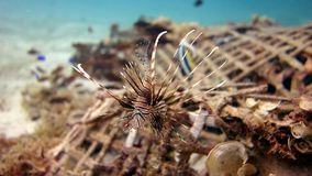 Lionfish Stockbilder