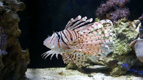 Lionfish Lizenzfreie Stockfotos