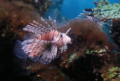 Free Lionfish Stock Image - 521081