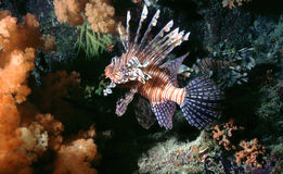 Lionfish Imagem de Stock Royalty Free