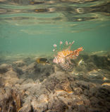 Lionfish Arkivfoto