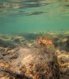 Lionfish Fotografering för Bildbyråer