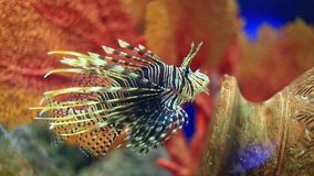 Lionfish stock footage