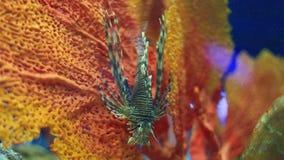 Lionfish απόθεμα βίντεο