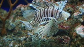 Lionfish stock video footage