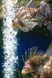 Lionfish Lizenzfreie Stockfotografie