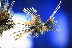 Lionfish Royaltyfria Foton