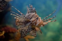 Lionfish Royalty-vrije Stock Afbeelding