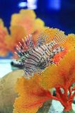 Lionfish royalty-vrije stock foto