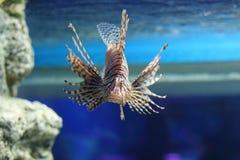 Lionfish Imágenes de archivo libres de regalías