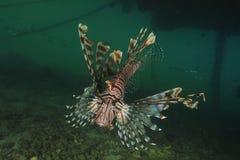 Lionfish Photos stock