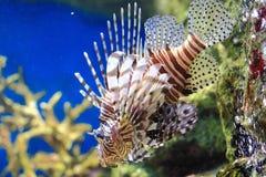 Lionfish Zdjęcie Stock