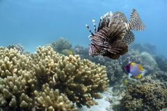 Lionfish. Red Firefish (Pterois volitans), (also known as Lionfish, Zebrafish, Butterfly-cod) swimming over coral reef Stock Photography
