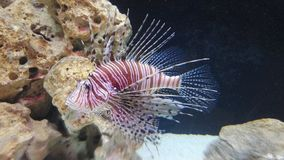 Lionfish Imagens de Stock Royalty Free