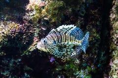 Lionfish Image stock