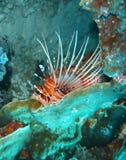 lionfish Στοκ εικόνες με δικαίωμα ελεύθερης χρήσης