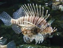 Lionfish Fotos de archivo