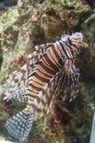 Lionfish Lizenzfreies Stockbild
