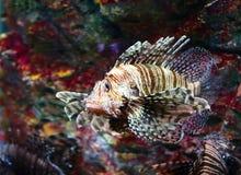 Lionfish Arkivbilder