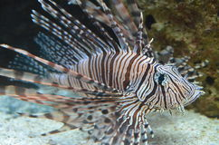 Lionfish Image stock
