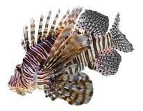 Lionfish Immagine Stock Libera da Diritti