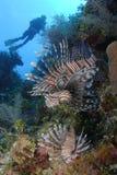 lionfish Стоковые Изображения