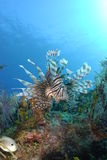 Lionfish Fotografie Stock