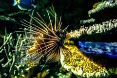 Lionfish Royaltyfria Foton
