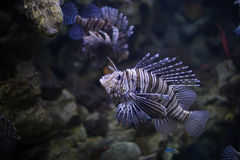 Lionfish Arkivfoton