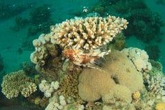 Lionfish africano imagem de stock royalty free