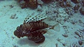 Lionfish africano común en el mar tropical en el arrecife de coral almacen de video