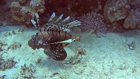 Lionfish africano común en el mar tropical en el arrecife de coral almacen de metraje de vídeo
