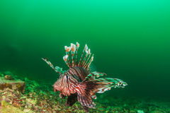 Lionfish during an algae bloom Royalty Free Stock Photo