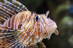 Lionfish. Also known as zebrafish, firefish, turkeyfish or butterfly-cod in long beach Aquarium Stock Photography
