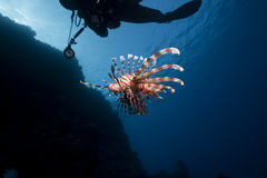 Lionfish And An Underwater Photographer Stock Images