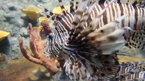 Lionfish Animal sauvage de la vie banque de vidéos