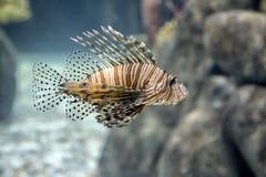 Lionfish in the aquarium stock images
