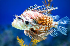 Lionfish in Aquarium Stock Photography