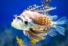 Lionfish in Aquarium Stock Photography