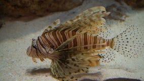 Lionfish in aquarium 4K. stock video